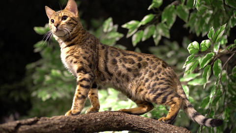 Jungle Cat Stands Atop Branch Closeup Footage