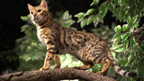 Jungle Cat Stands Atop Branch Closeup Footage
