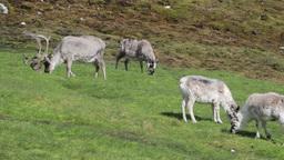 Reindeer in the green field of Norway Footage