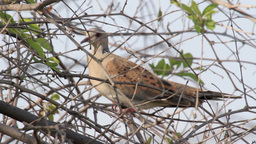 Turtle Dove On A Tree stock footage