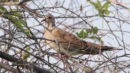 Turtle Dove on a tree Footage