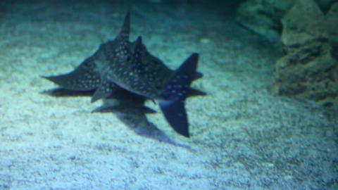 Bowmouth guitarfish Footage