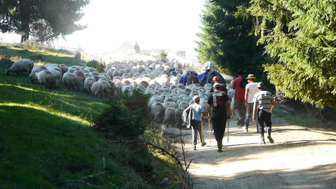 White herd of sheep passing through a dense pine forest, along a forest road, fo Footage