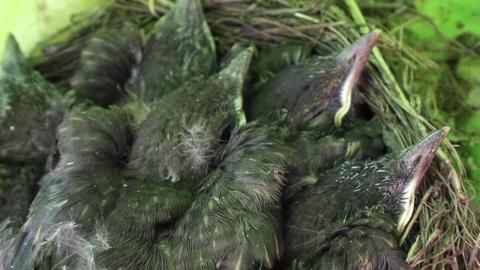 Blackbird chicks awaiting food Blackbird chicks awaiting food, sheltered hidden  Live Action