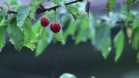 Branches with leaves and cherry fruit that is in the warm summer rain beating 47 Footage