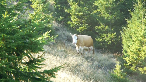 Brown cow that goes through a young fir forest through the tall grass at the edg Footage