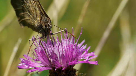 Butterfly looking for pollen in a purple thistle flower 69b Footage