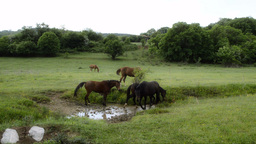 Horse Herd Watering In A Brook Footage