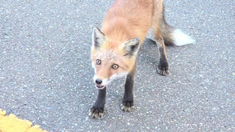 【4K】Japanese wild fox/日本の野生の狐/北海道 Footage