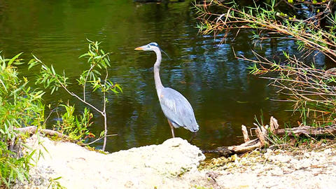 Great Blue Heron (Ardea herodias) Everglades Footage
