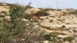 Black eared wheatear Footage