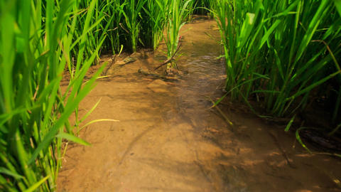 Rice Field Irrigation Canals against Distant Village Footage
