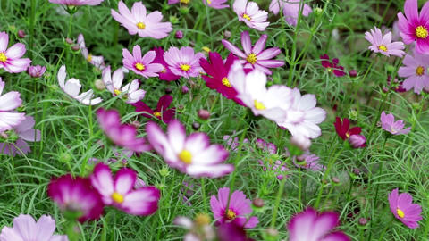 Cosmos flowers in autumn ビデオ