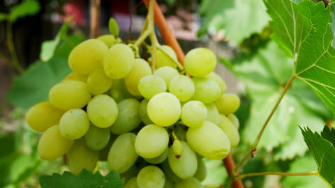 Farmer's Hand Grabs a Bunch of White Grapes Footage