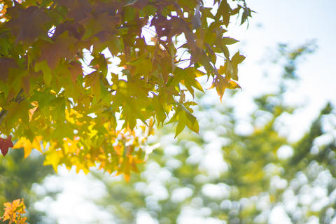 Beautiful maple leaves in the park with sunny days Fotografía