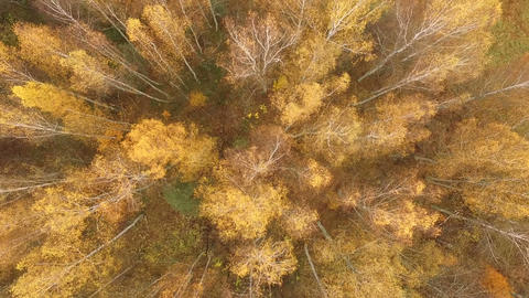 rotation of the drone over the autumn yellow birches is looped ビデオ