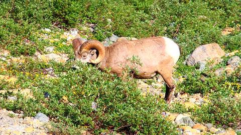 Bighorn Sheep Glacier National Park Footage