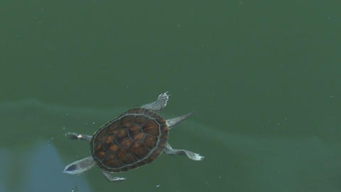 Turtle swimming in pond, 4K Live影片