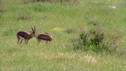 Israeli mountain gazelle courting Footage