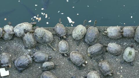 Turtle eating next to koi pond Footage