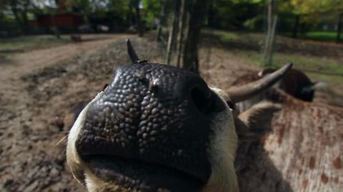 Simpathetic Cow Smelling Visitor In The Farm stock footage