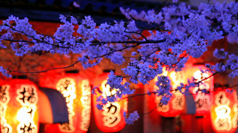 Evening. The branches of cherry blossoms ライブ動画