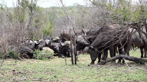 African buffalo 影片素材