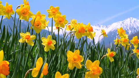 Closeup of narcissus flowers with blue sky in the background Footage