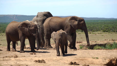 Cute baby elephant walks towards the camera in addo elephant Footage