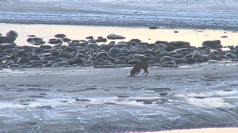 Dog picking up frisbee on icy frozen beach Footage
