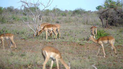 Group of impalas in kruger national park Footage