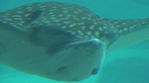 Closeup of giant manta ray gliding past camera Live Action
