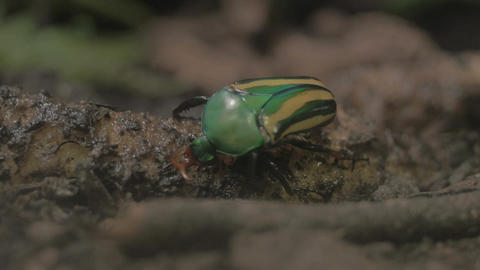 Green and yellow beetle close up Footage