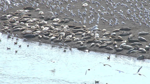 Flocks of seagulls and harbor seals on shoreline at river mouth Live Action
