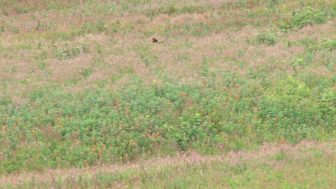 Goshawk flying over meadow Footage