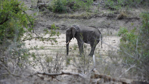 Little elephant standing alone in the bush Live Action