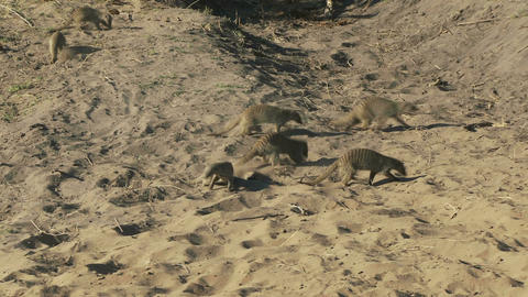 Meerkats running on dirt Footage