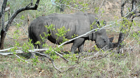 Rhino walking and eating grass in kruger national park south africa Live Action