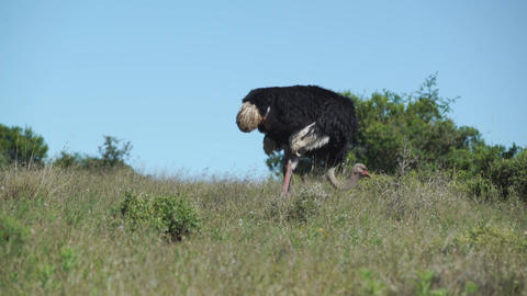 Ostrich eating grass Footage