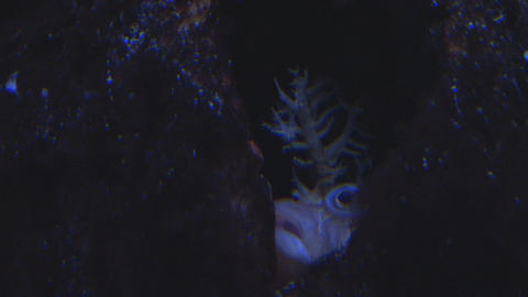 Spiny fish with big lips hiding Footage
