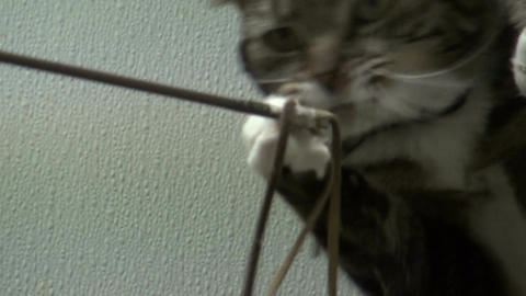 Striped cat playing with cat toys at animal shelter Stock Video Footage