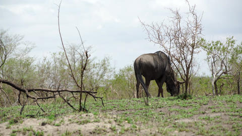 Lonely wildebeest in the bush Footage