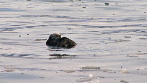 Sea otter grooming himself in icy water Live Action