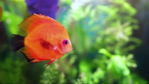 Symphysodon discus in an aquarium Stock Video Footage