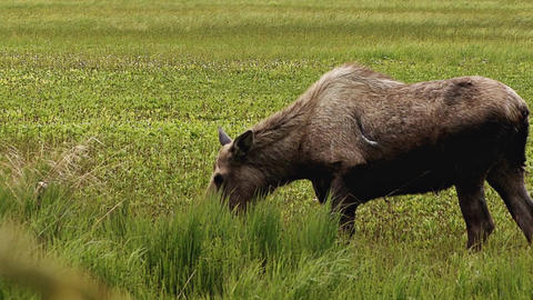 Scarred moose in marshland slow motion Footage