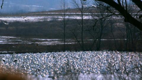 Slow motion rack focus on snow goose flock Footage