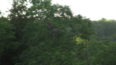 Vulture soaring past trees Footage