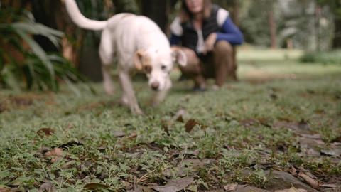 Well trained mixed breed dog walking towards the camera with a woman owner Footage