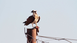 Osprey eating fish on electric pole Footage