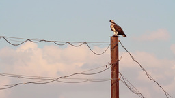 Osprey standing on electric pole Footage